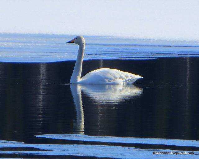 11 лебедь отражается в воде
