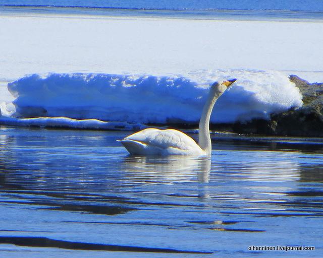 21 лебедь вытянул шею