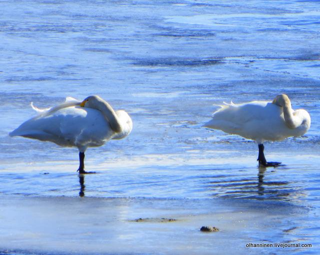 1 длинноногие дикие лебедей-кликуны стоят на льдине