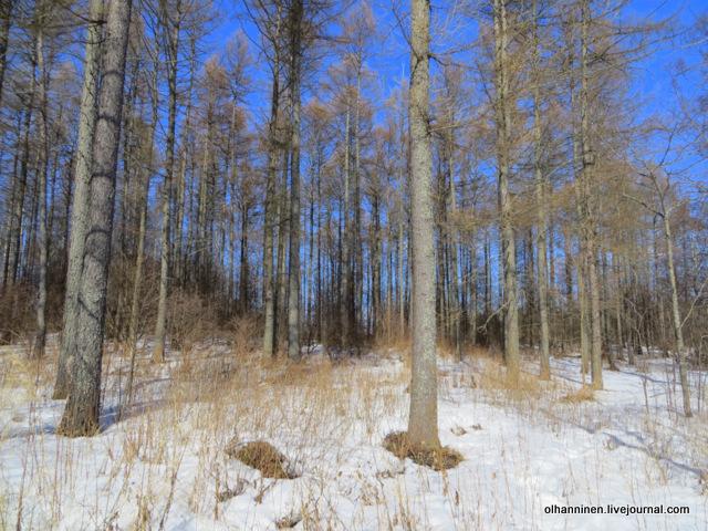 2 лиственничный лес