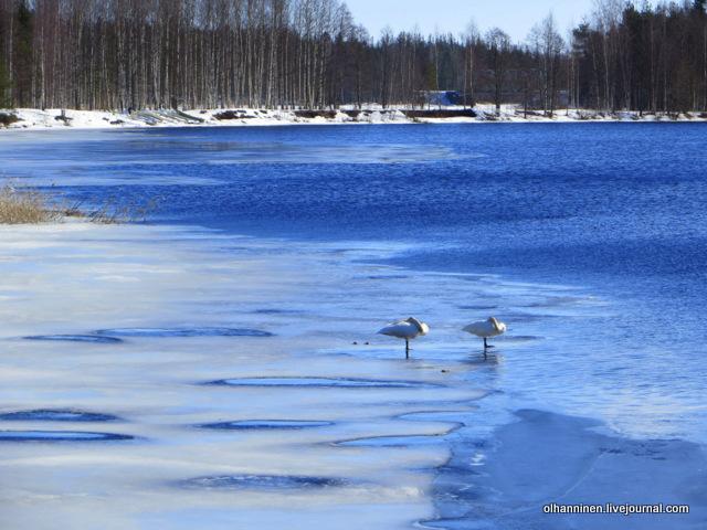 5 приближаем лебедей