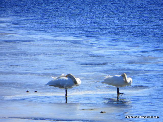 6 дикие лебеди-кликуны стояли на ногах не шевелясь все 15 минут