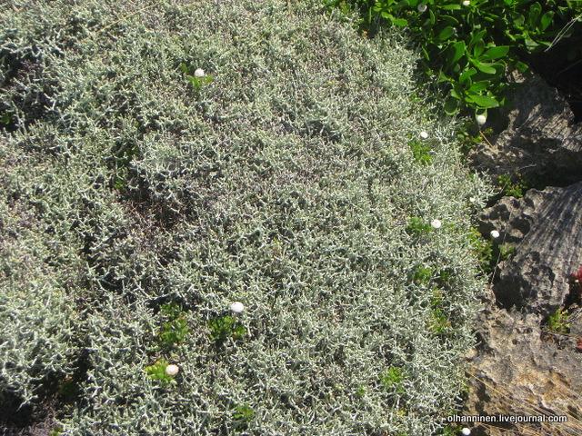 голубой кустарник с белыми цветами