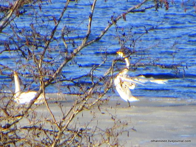 лебеди расправляют крылья