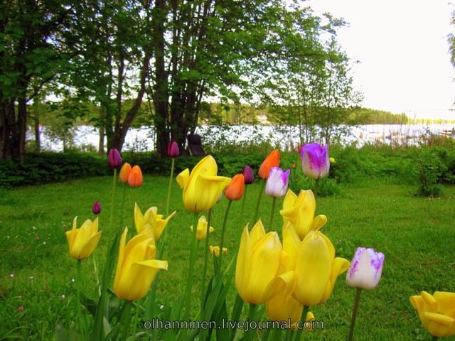 тюльпаны и озеро
