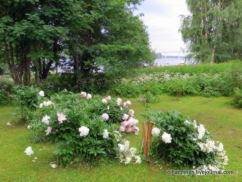 пионы в саду на берегу озера