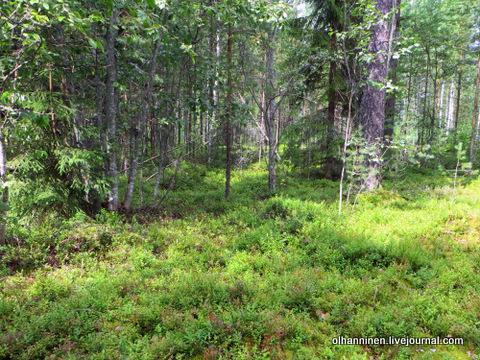 3-обобранный черничник в лесу