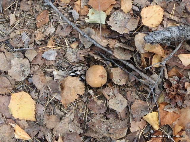 подосиновики в листьях