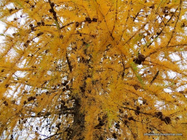 золотая лиственница