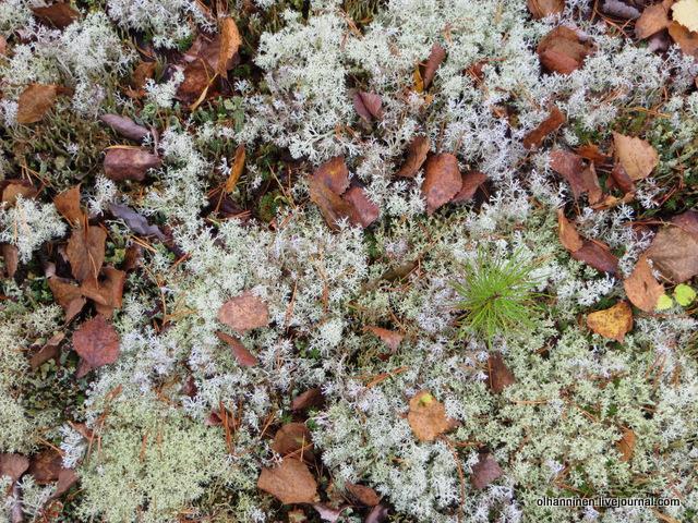 мох с листьями и сосенка