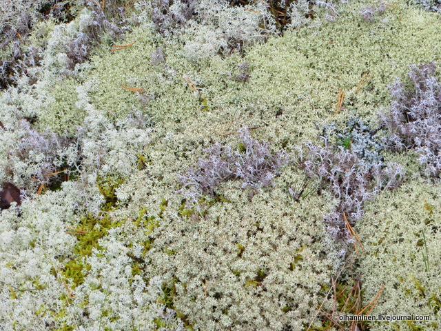 мох серый