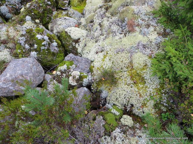 мох, сосенки и елочки