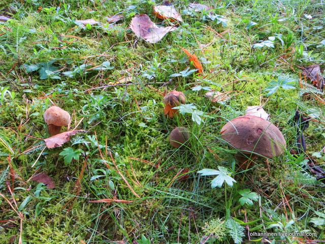грибы моховики