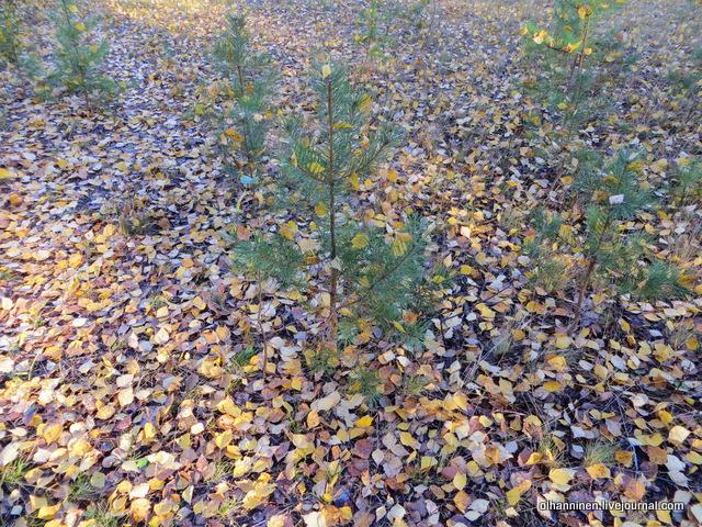 сосны с листьями