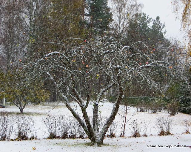 11 яблоня в снегу