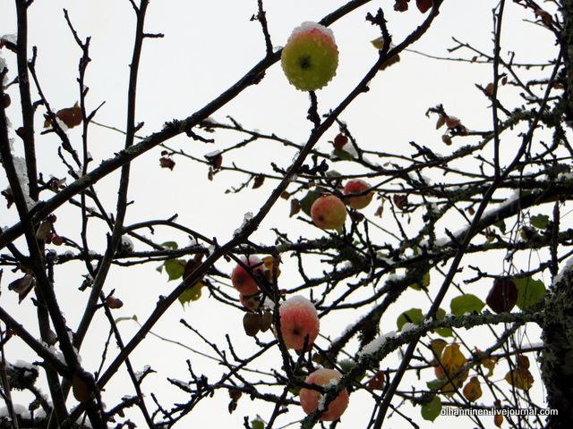 12 снег на яблоках на яблоне