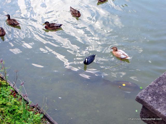 04 утки в канале, а под ними рыбы