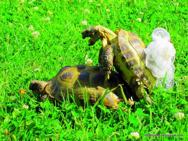 00 среднеазиатские черепахи в саду
