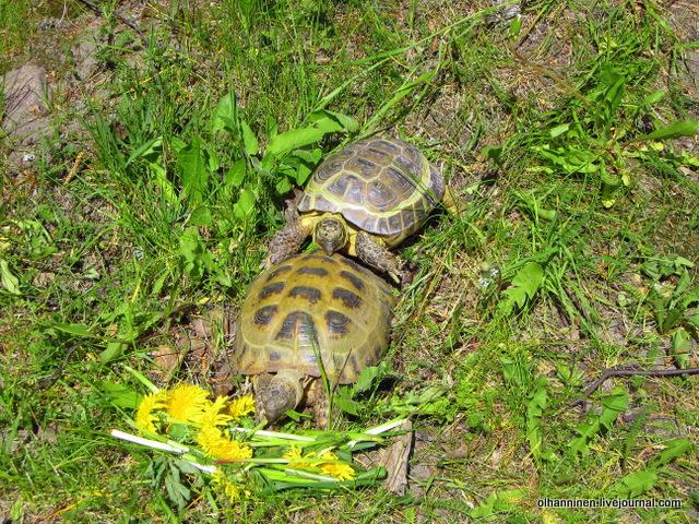 13 пристает, когда черепаха ест