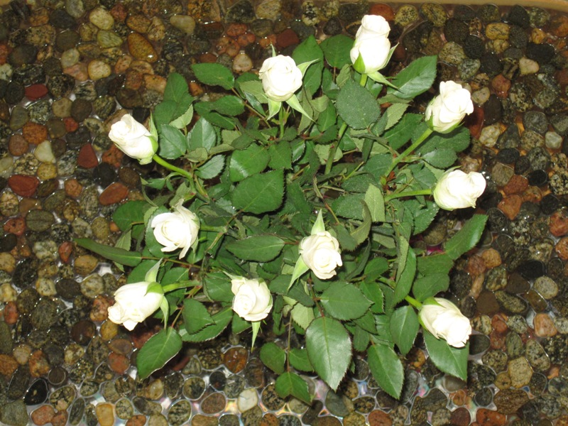 Белая роза, подаренная мужем сегодня
