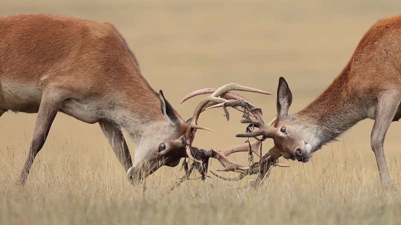 Два оленя на копытах выясняли кто из них круче