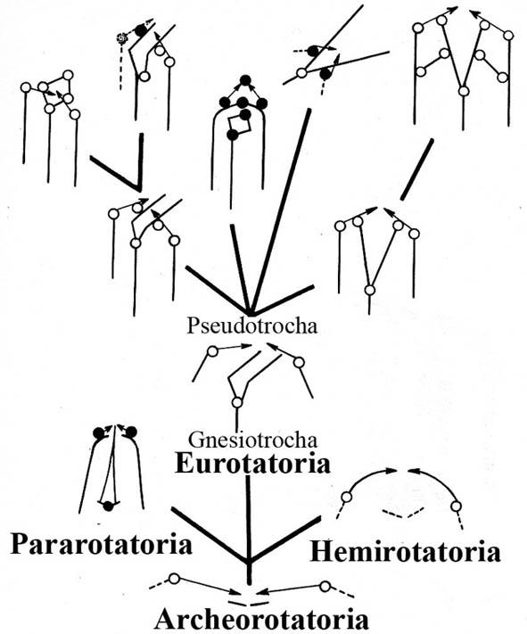 rotifera evol Mark2
