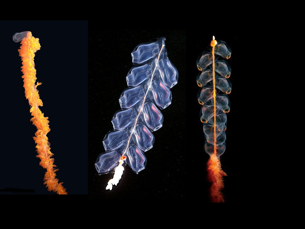 siphonophore-01