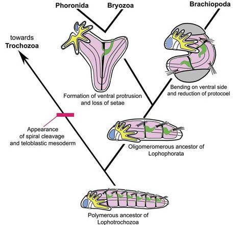 phoronida2