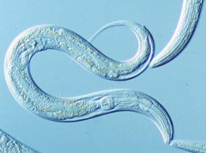 worm-blue
