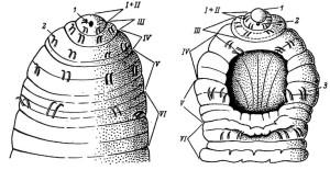 Acanthobdella