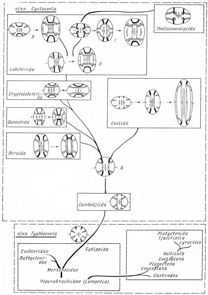 Ctenophora1