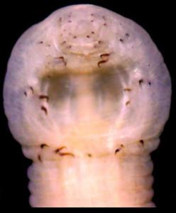 Paracanthobdella livanovi