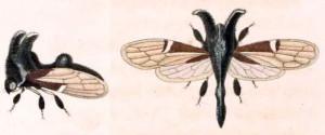 Notocera_satanas_1831