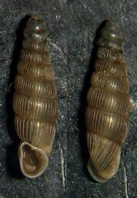 R filograna
