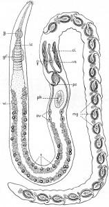 Polystyliphora