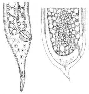 Trophomera granovitchi