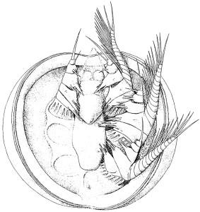 head larva