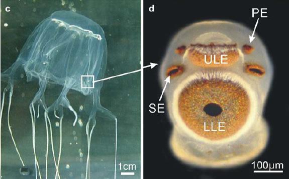 Cubozoa eyes