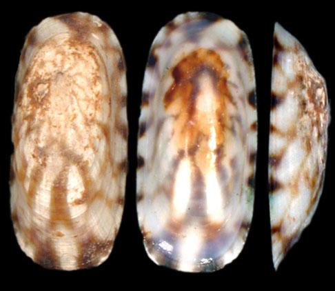 L.angusta