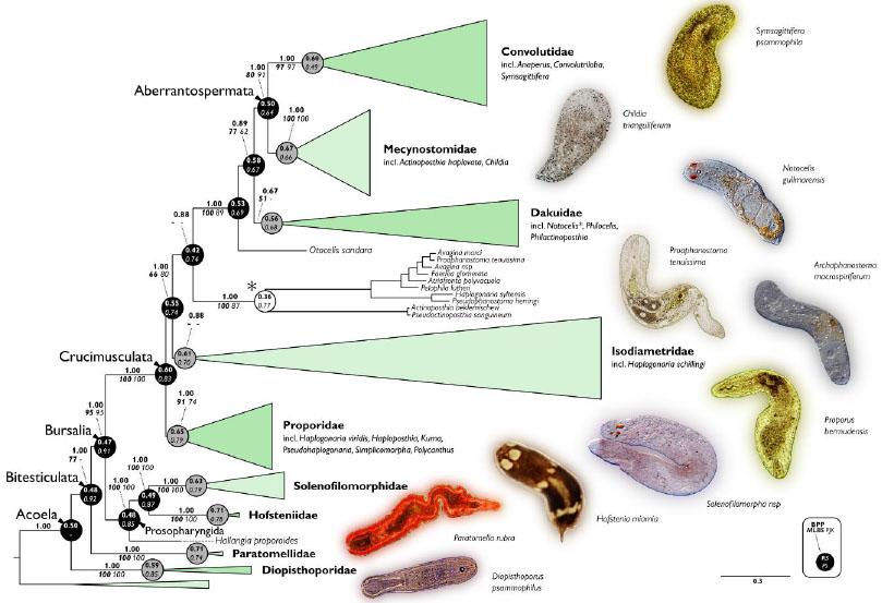 Acoela phylogeny