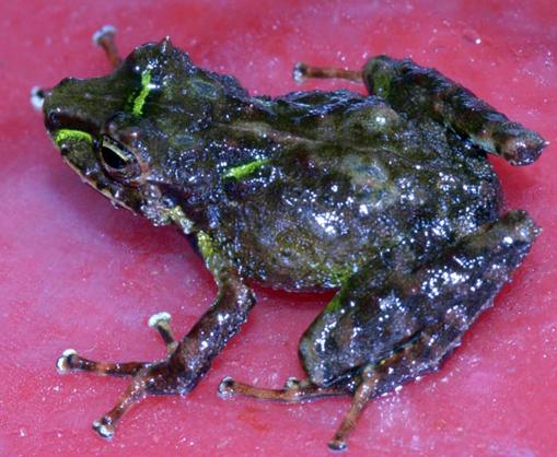 Ceuthomantis smaragdinus