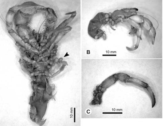 Thylacoplethus isaevae