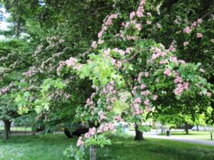 розовые цветы на деревьях