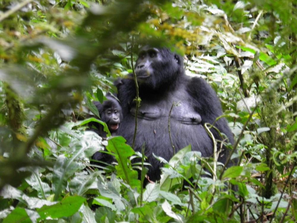 Встреча с дикими гориллами в лесу