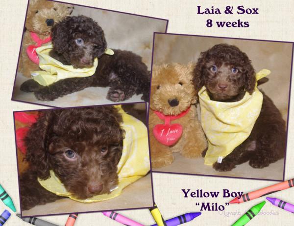 Yellow Boy 8 week Collagewatermark.jpg