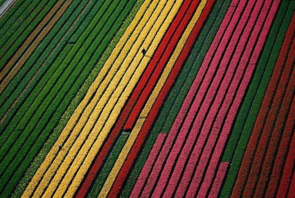 Поля тюльпанов возле Лиссе, Нидерланды.