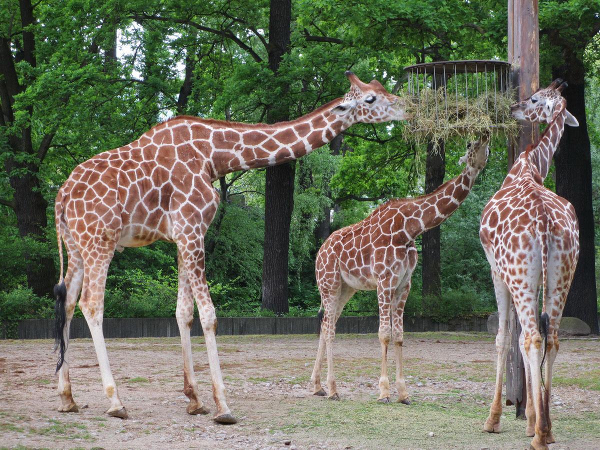 У жирафов бранч.