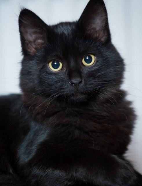 черный пушистый котенок фото