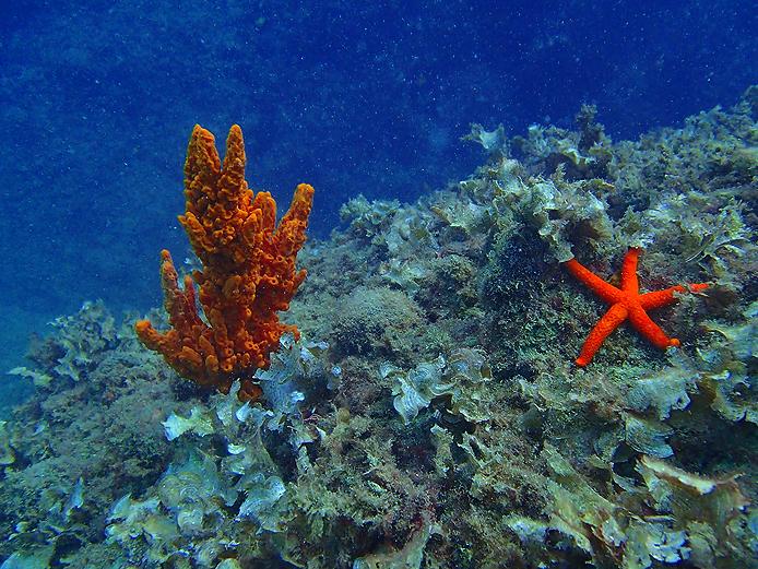 звезда и коралл