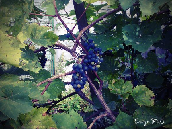 виноград web